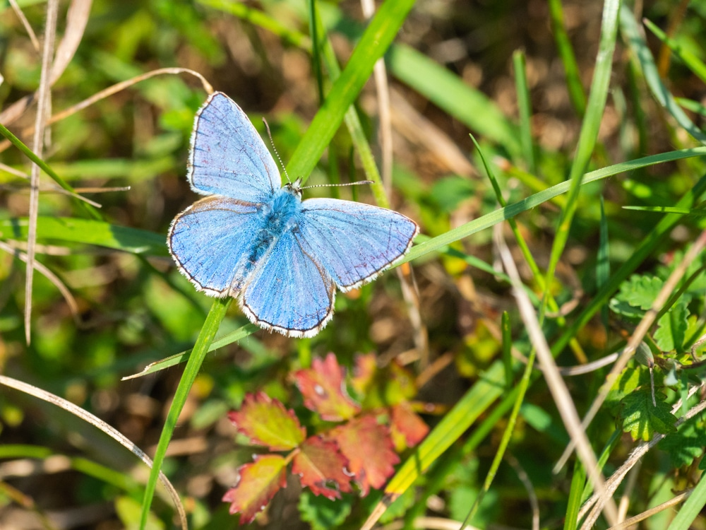 An adonis blue butterfly with its particularly striking markings