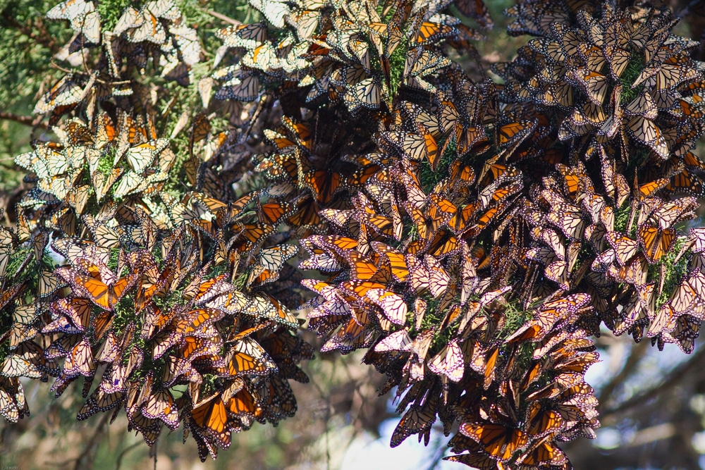 A butterfly colony