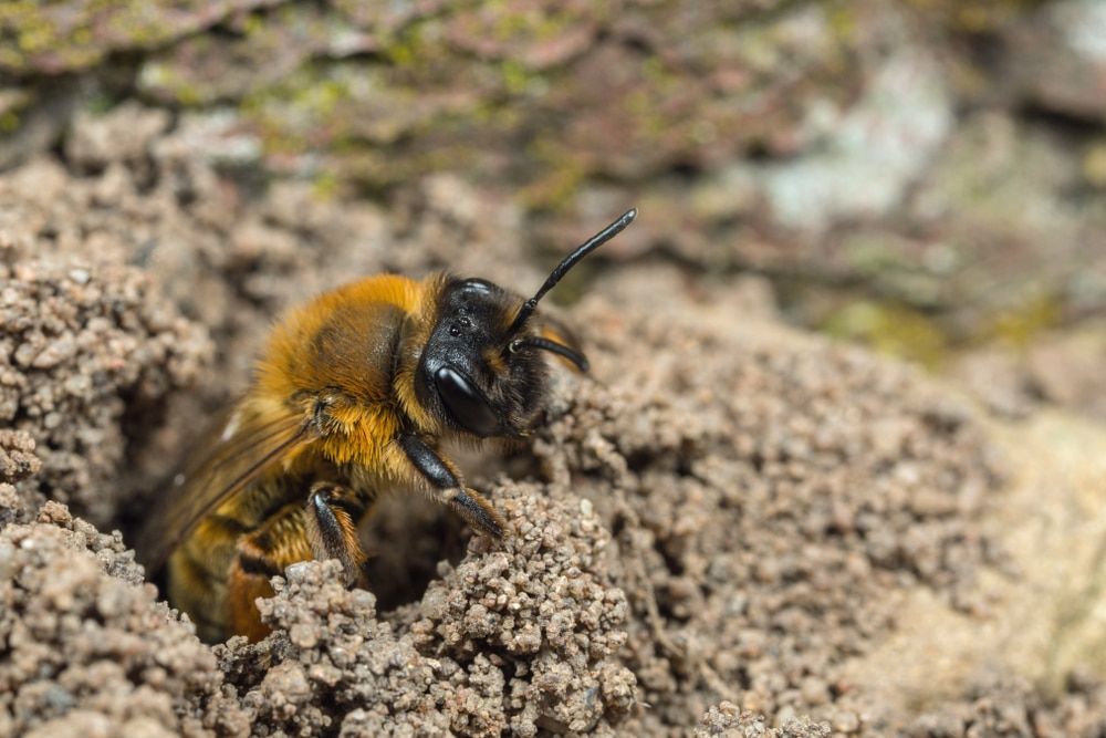 Mining bee digging its hole
