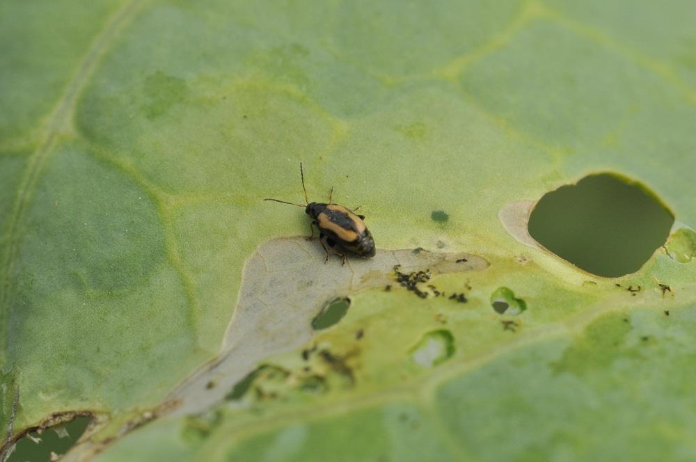 Flea beetle on plant