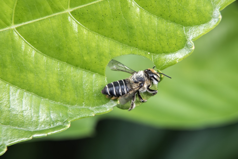leaf cutter bee on plant