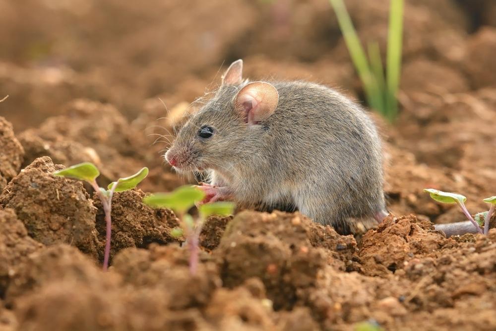 mouse in garden