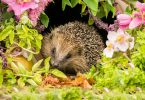 headgehog amongst garden foliage