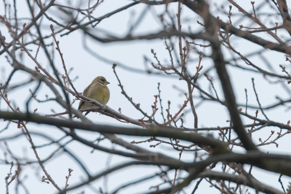 Male greenfinch on branch