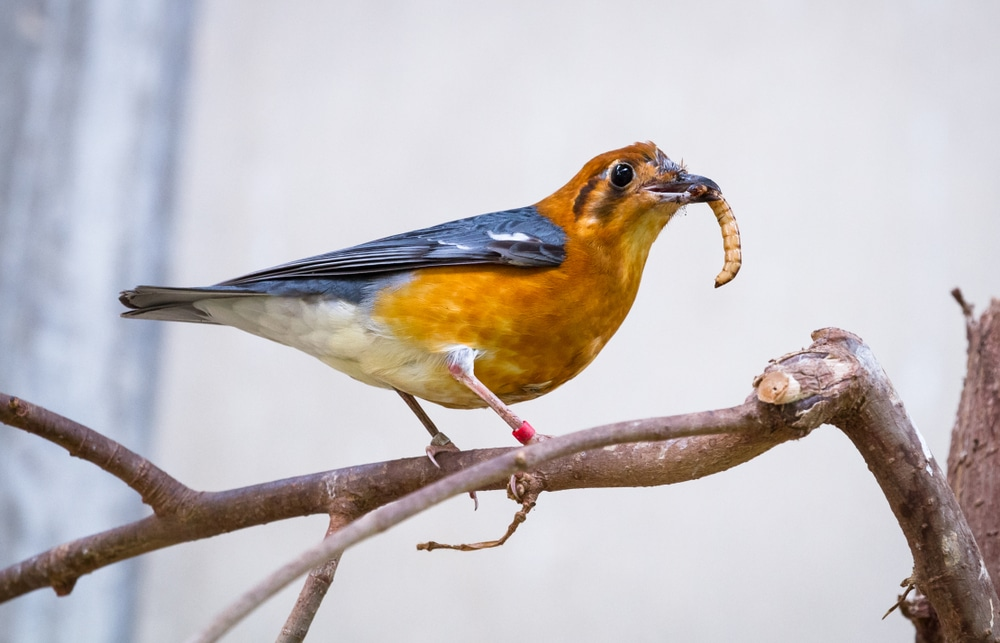 orange thrush eating a mealworm