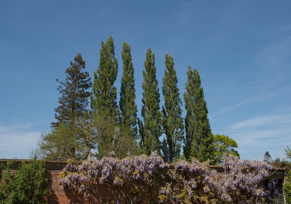 Tall, narrow trees in garden