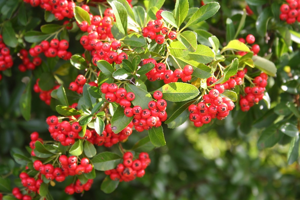 red berries on a pyracantha plant