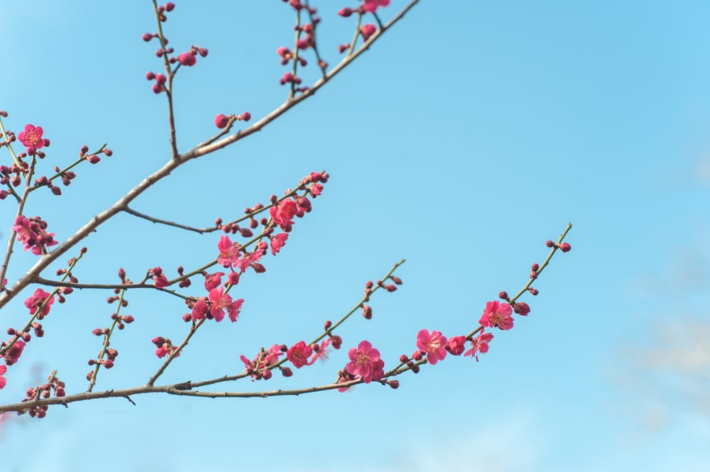 Japanese apricot in bloom