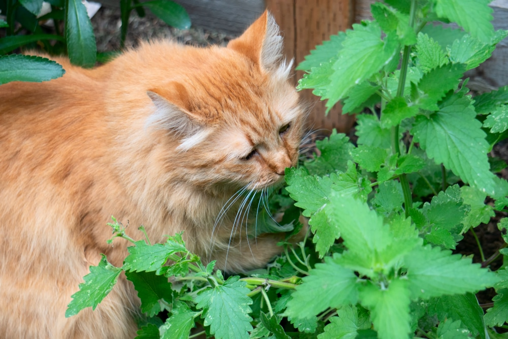 Cat smelling cat nip in garden