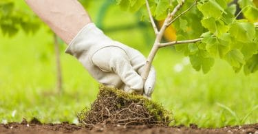 small tree being planted by gloved hand