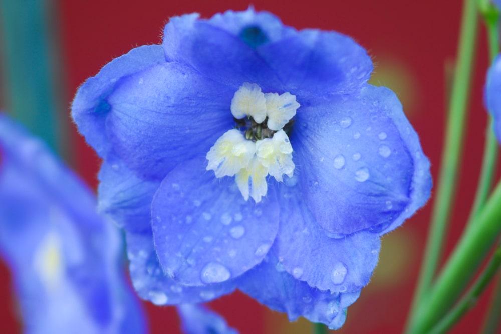 Close up of a blue delphinium flower