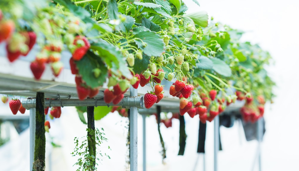 red and green strawberries growing in a hydroponic system
