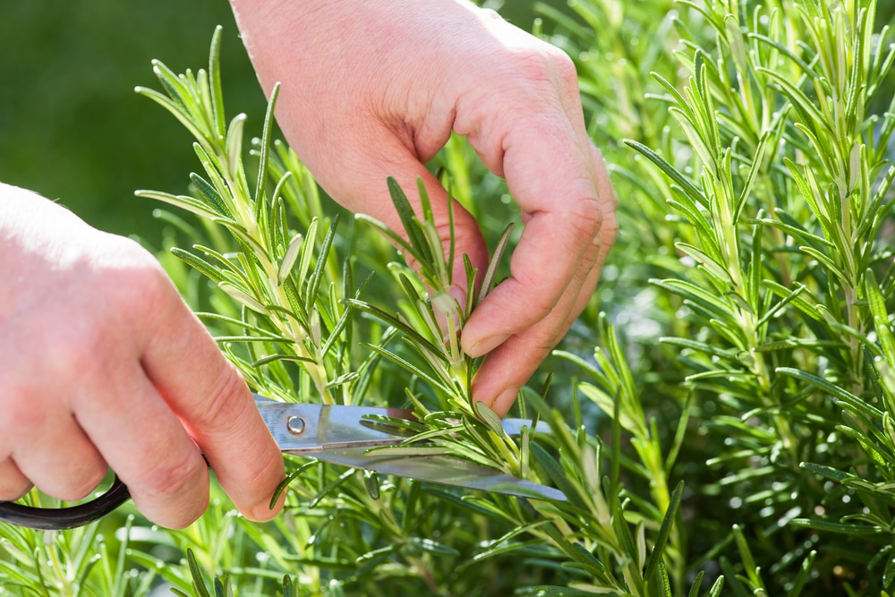 Taking a cutting from rosemary with scissors