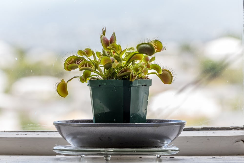 Potted venus fly trap plant on windowsill