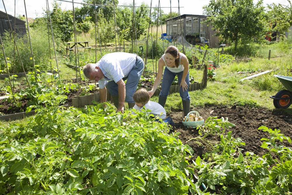 Family planting in an allotment