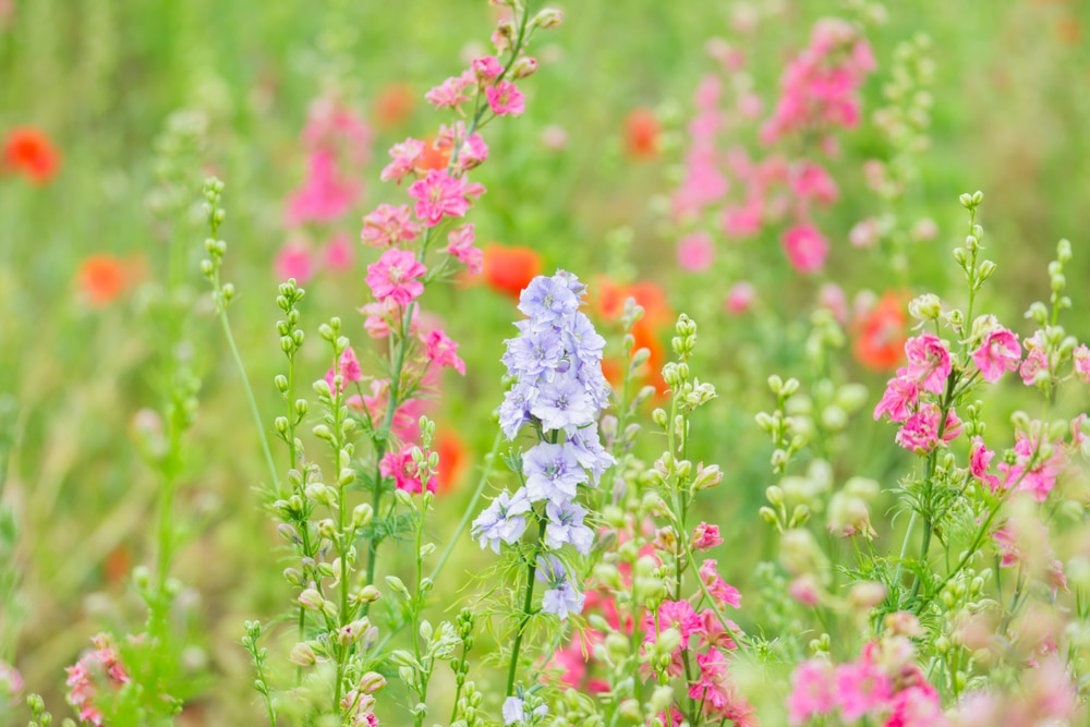 Light purple and pink delphiniums growing naturally in a field