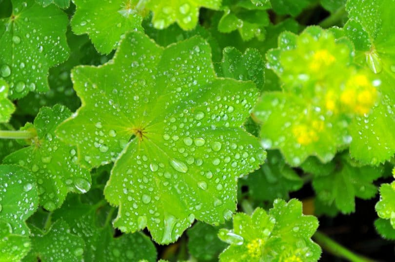 garden alchemilla covered in raindrops