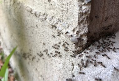ant infestation in garden