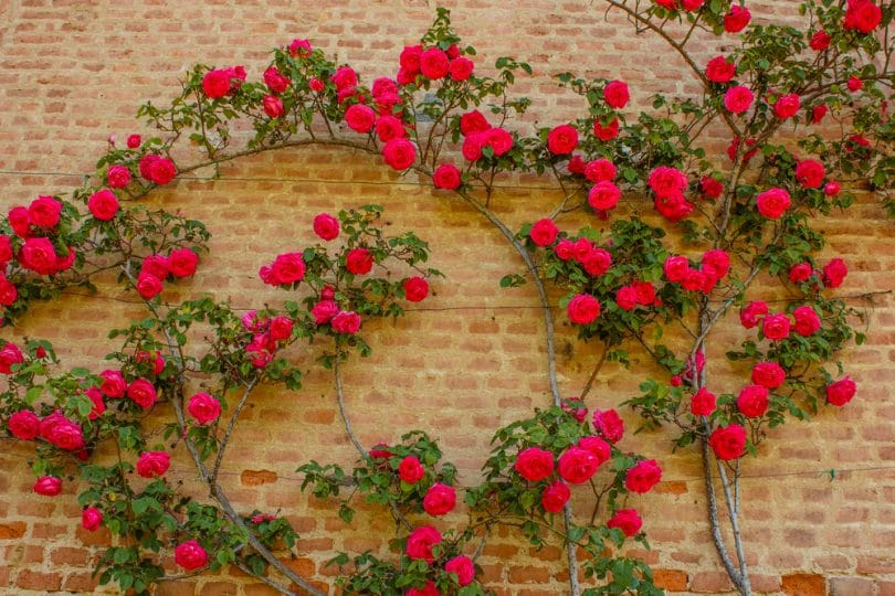 red roses climbing a wall
