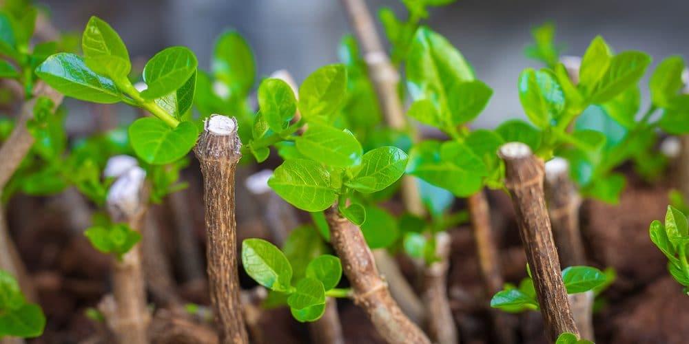 propagation using cuttings