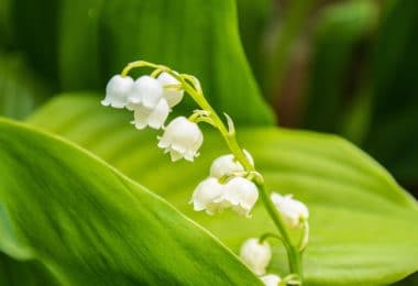 lily of the valley flowering plants