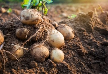 potatoes unearthed from soil