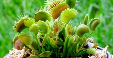 potted venus fly trap
