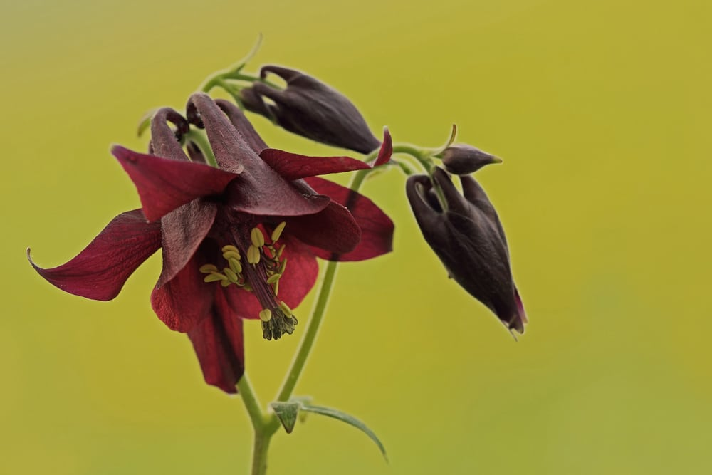 Dark columbine flower (also known as Aquilegia atrata)