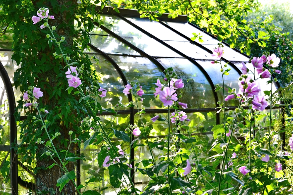 Garden greenhouse surrounded by tree mallows