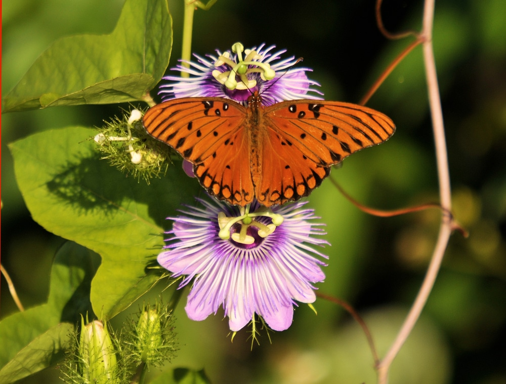 an orange butterfly perched on a passion flower