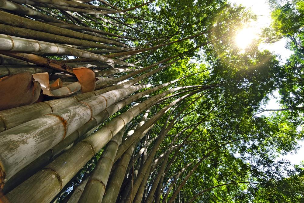 Giant bamboo in the Royal Botanic Gardens, Sri Lanka