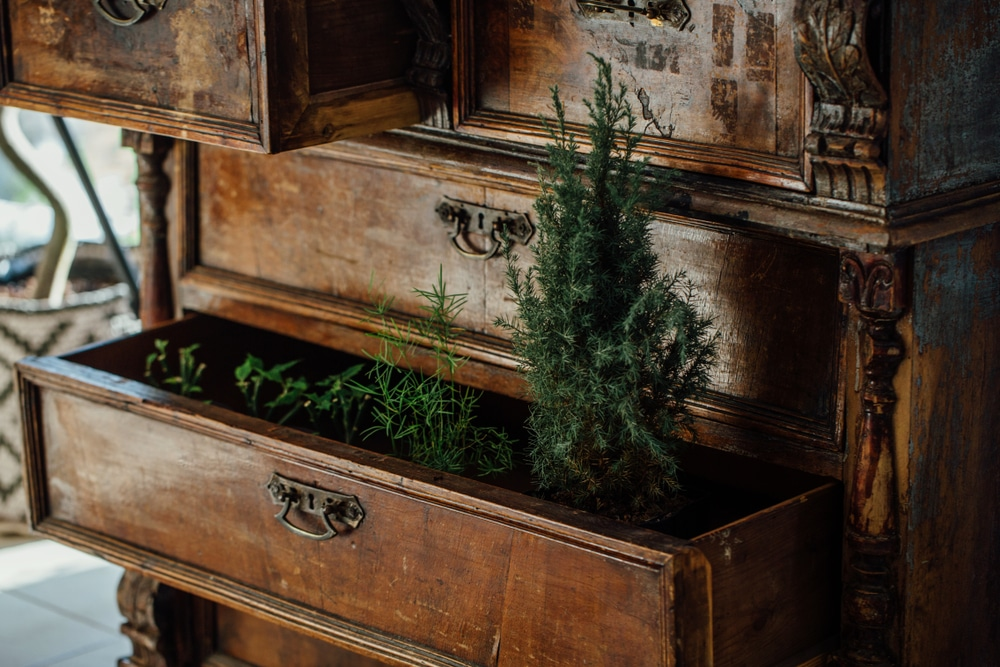 Plants grown in an old chest of drawers