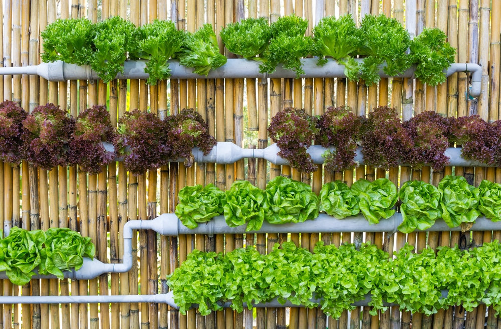 Vertical hydroponics on bamboo fencing