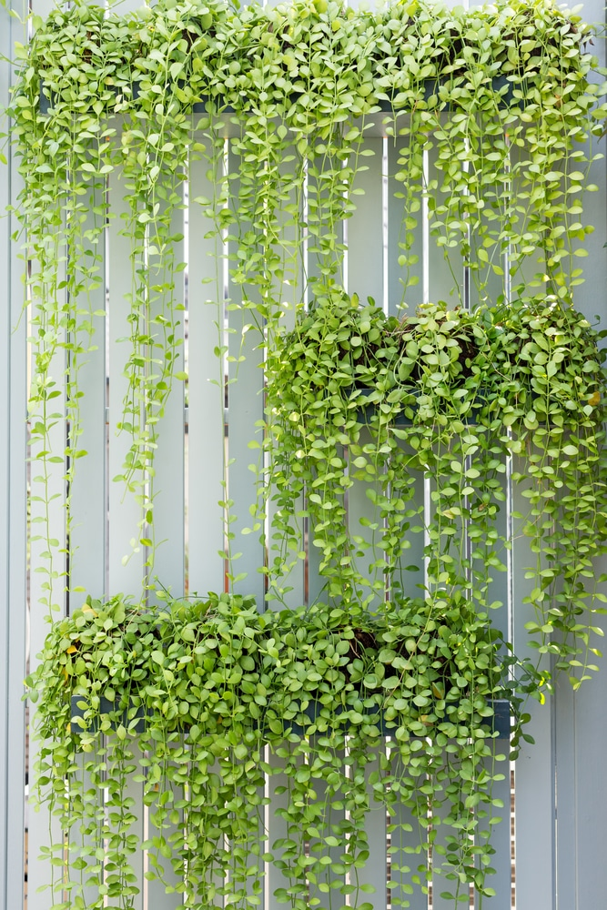 A green wall using trailing plants