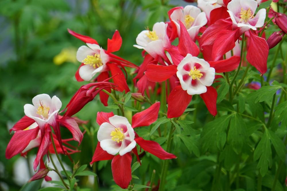 Columbine 'Crimson Star' flowers blooming in a garden