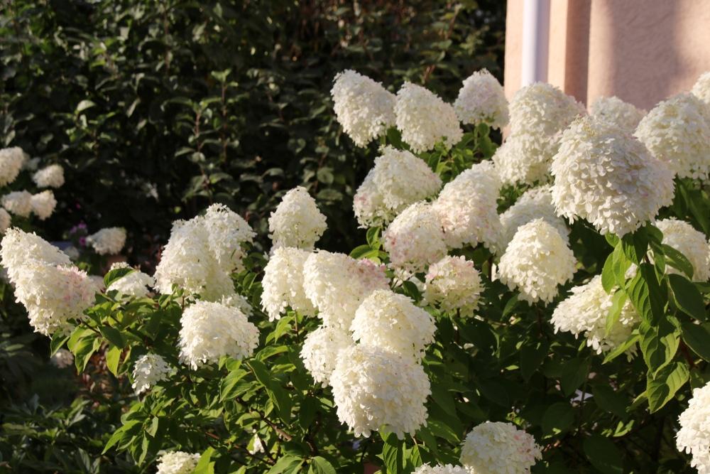 Beautiful blooms of white hydrangea