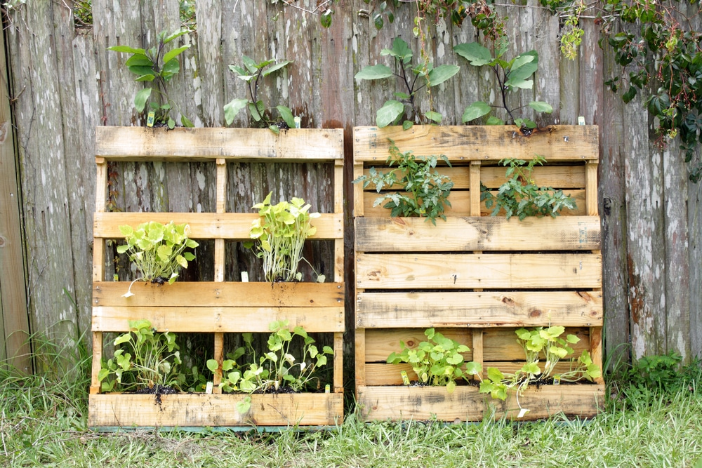 Two wooden pallets modified to grow vegetables