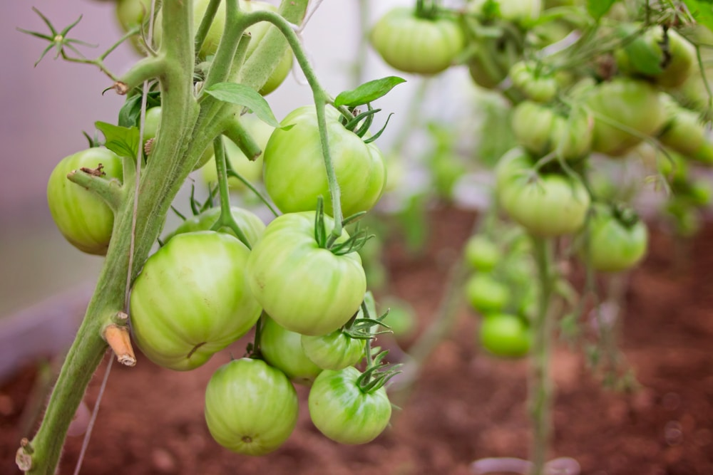 Green tomatoes growing on a branch.