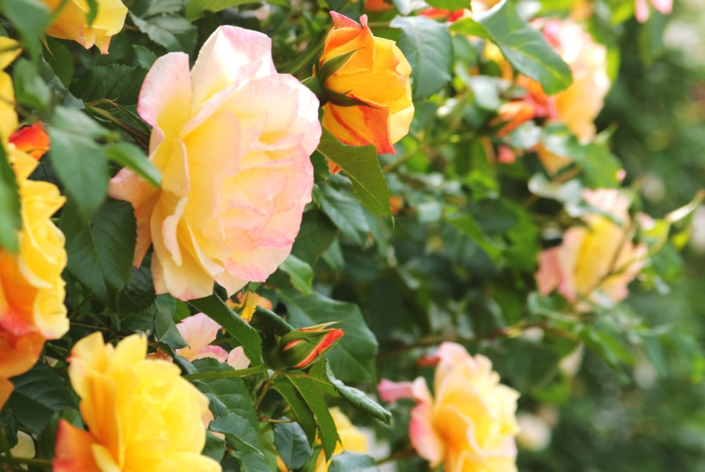 Climbing roses with some beautiful tints of yellow and pink