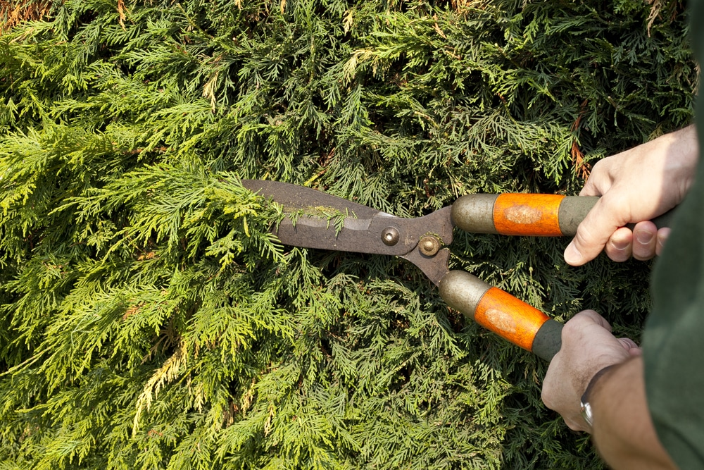 lenylandii hedge being cut back with manual trimmers