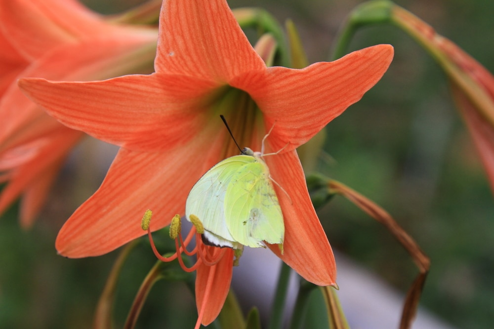 A yellow butterfly sat on an amaryllis orange sovereign flower