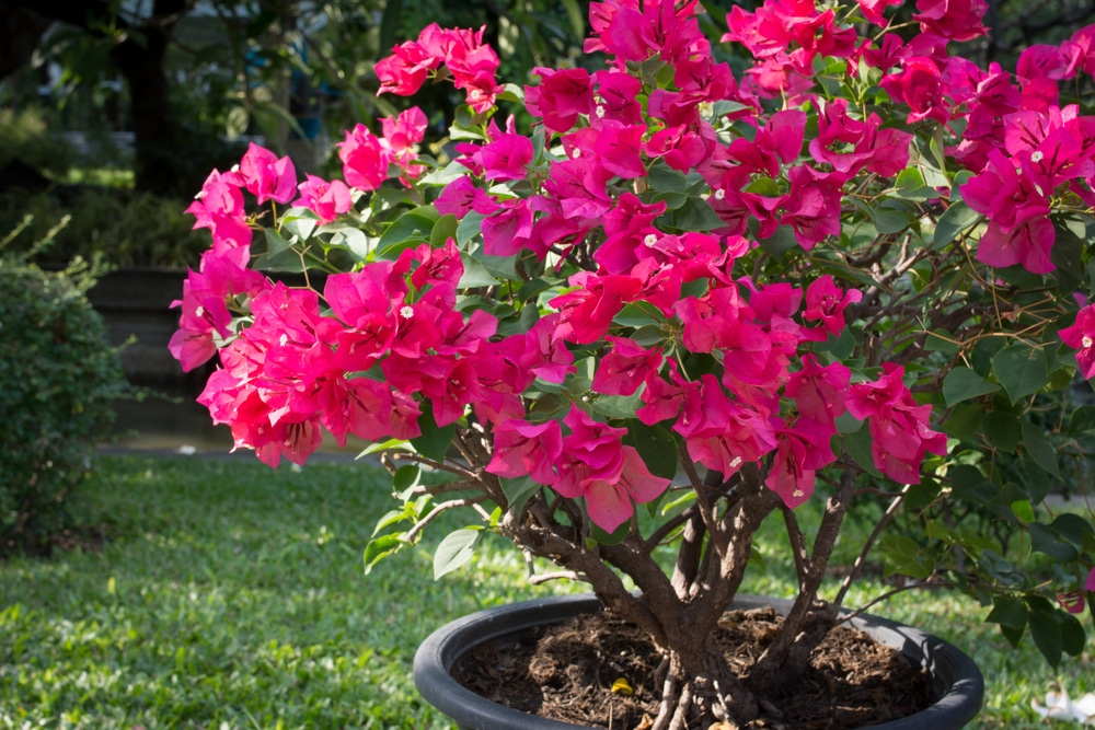 Bougainvillea plant in a container with lawn in the background