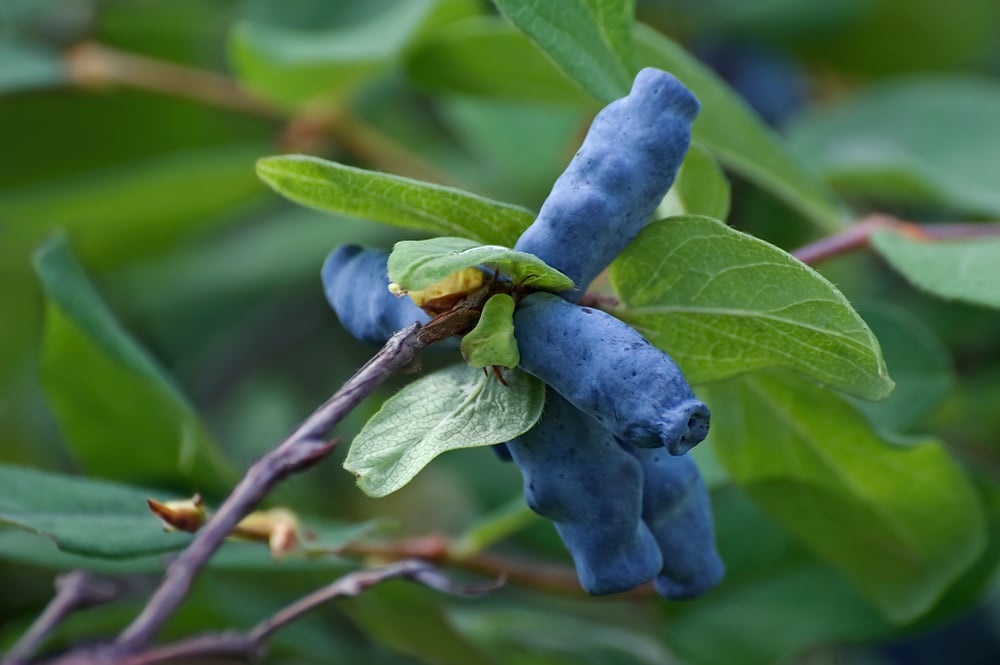 Lonicera caerulea with dark blue edible berries