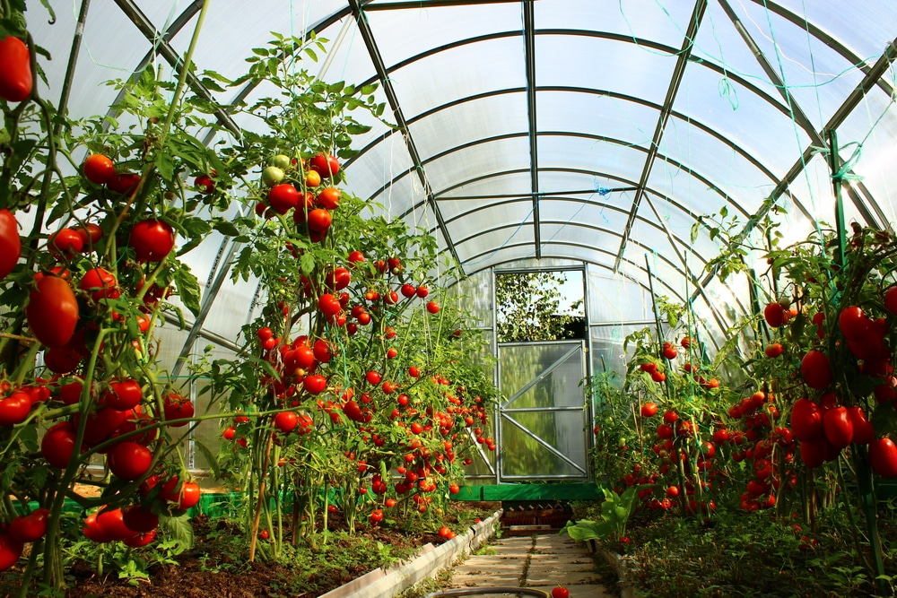 Vine tomatoes growing in a greenhouse