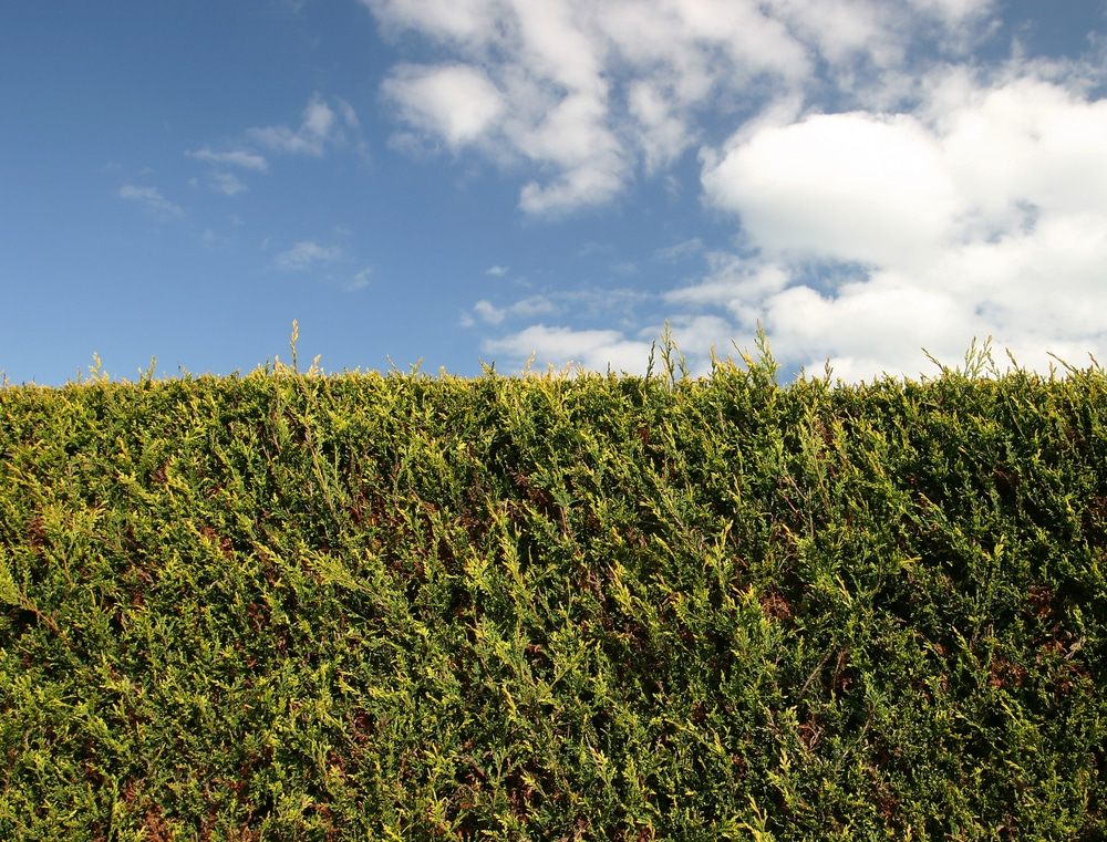 hedging and blue sky