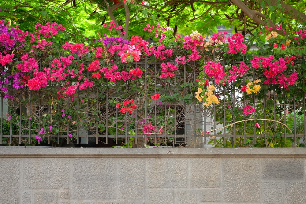 a bougainvillea plant trained to grow along an iron fence