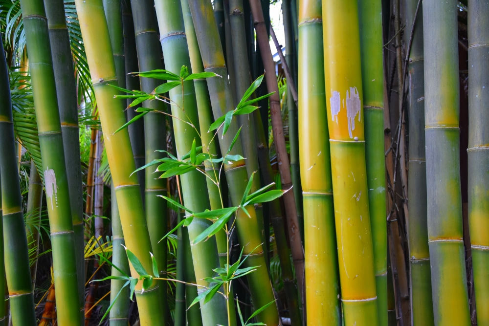 bamboo branches in a bamboo forest