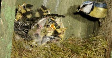 mother bird feeding chicks inside birds nest