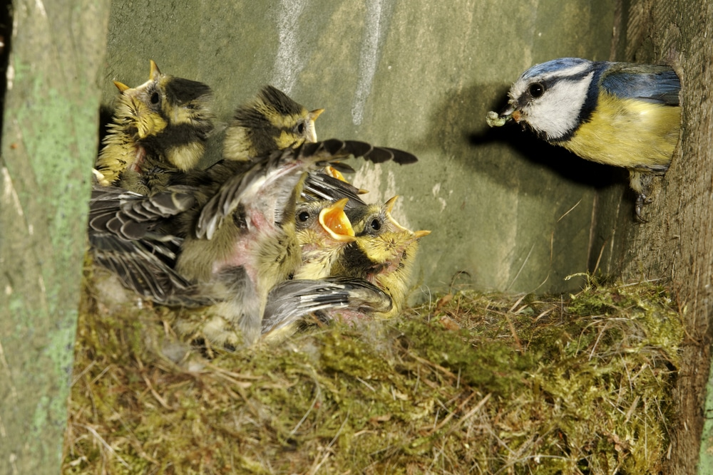 mother bird feeding chicks inside birds nest