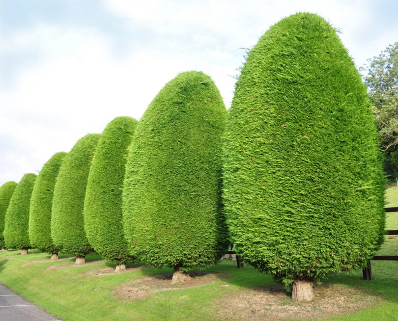 a row of leylandii trees